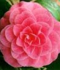 camelia rosa_fiero del tuo amore