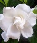 gardenia_mi sei simpatico
