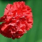 garofano rosso_amore vivo