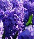 giacinto blu_costanza