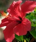hibiscus_mi piaci
