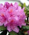 rododentro_fragile incanto