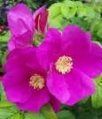 rosa canina_piacere