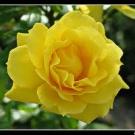 rosa gialla_gelosia