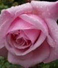 rosa rosa_ti voglio bene