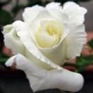 rosa_bianca_amore puro