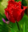 tulipano rosso_amore perfetto
