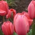 tulipano_onestà