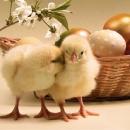 La gallinella