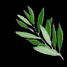 Risultati immagini per ramoscello di ulivo