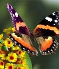 volo di farfalla