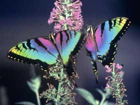 + farfalle 22