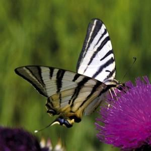 + farfalle 25